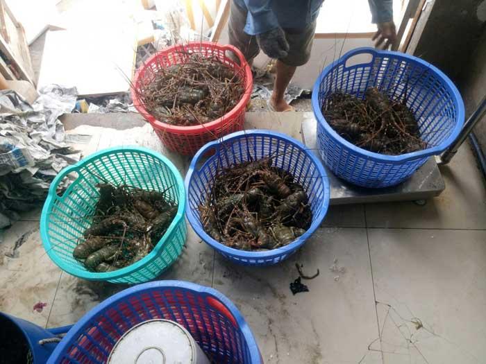 Nhà cung cấp tôm hùm xanh giá rẻ, chất lượng tại TP. Hồ Chí Minh - Đà Nẵng