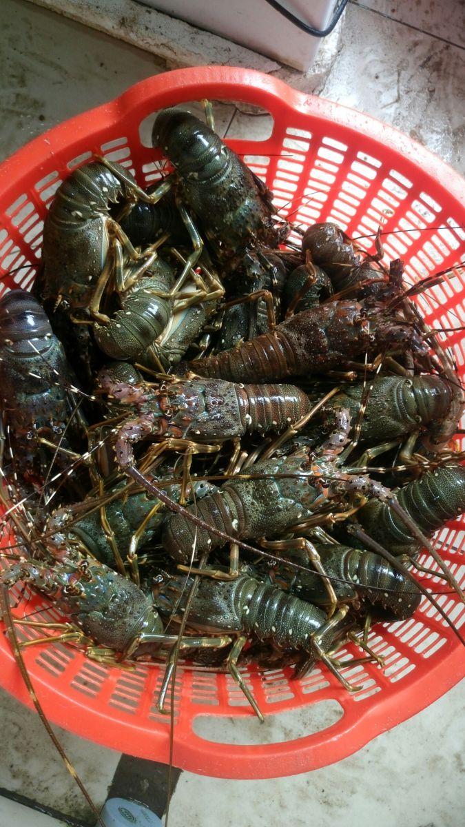 Tôm hùm xanh Nha Trang giá rẻ - Giao hàng tận nơi