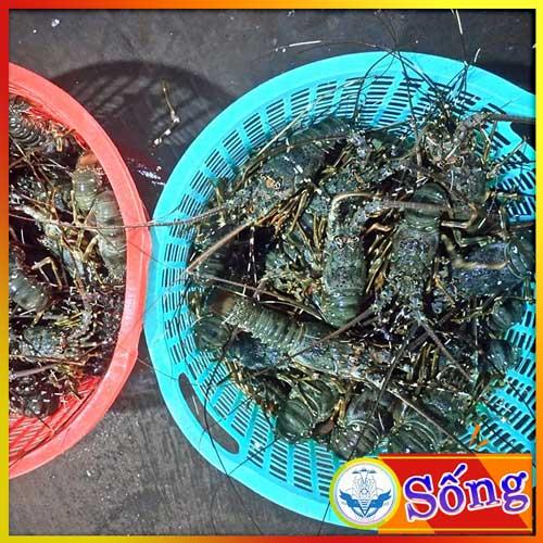 Tôm hùm xanh sống size 400-500gr ( Giá tôm hùm Đơn hàng 10kg HCM)