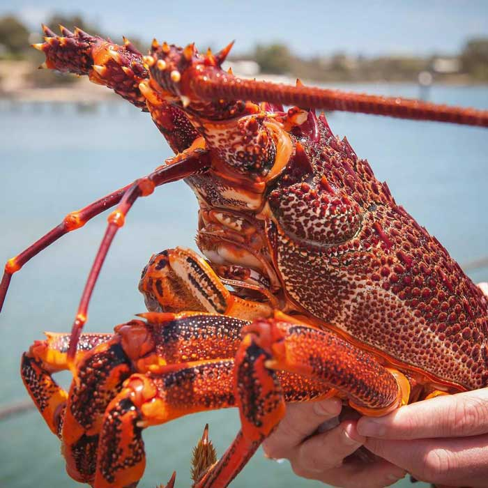 The sale of lobster Australia size 500-1500 gr
