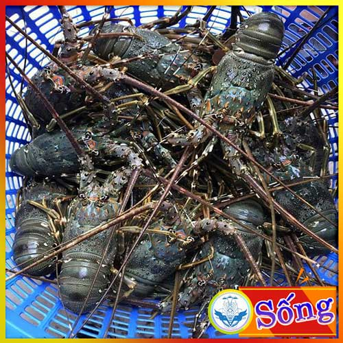 Lobster Green 300-500gr, fresh live cheap