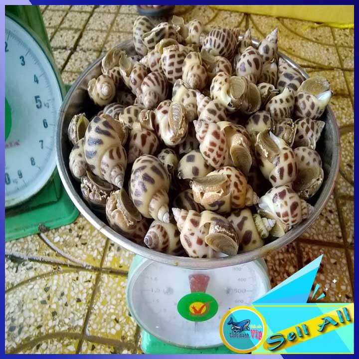 Ốc Hương Sống Size 30-50 con/kg Ốc Hương sống khỏe từ 3 - 7 ngày